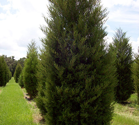 tree farm - palms - cedars - hay - Central Florida